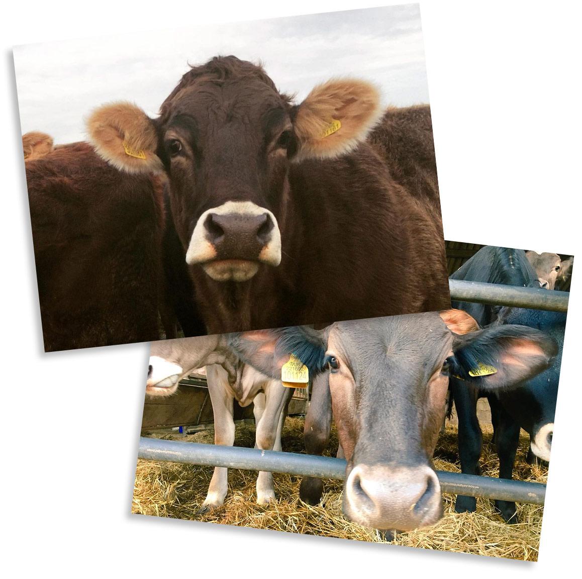 Nortons Dairy Cows